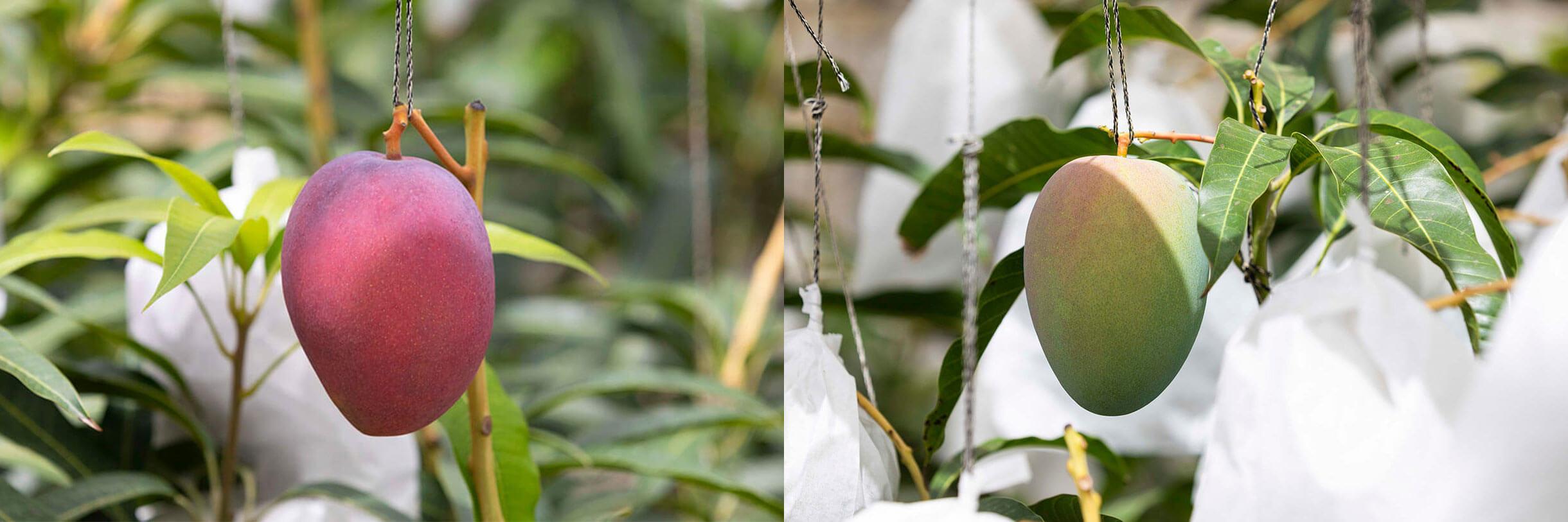 マンゴーの二種の比較写真